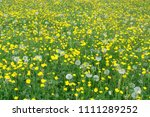 Buttercups And Dandelion Clock...
