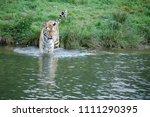 a siberian tiger  panthera... | Shutterstock . vector #1111290395
