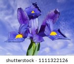 iris reticulata which is a... | Shutterstock . vector #1111322126