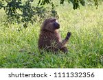 young baboon picking flowers ... | Shutterstock . vector #1111332356