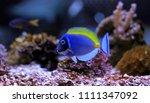 Small photo of Powder Blue Tang - Acanthurus leucosternon