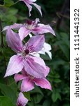 Several Clematis Flowers Are...