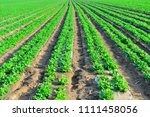 peanuts in the field  lush... | Shutterstock . vector #1111458056