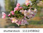 chinese flowering crab apple in ... | Shutterstock . vector #1111458062