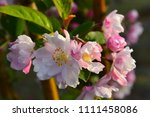 chinese flowering crab apple in ... | Shutterstock . vector #1111458086