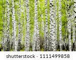 background of birch forest... | Shutterstock . vector #1111499858