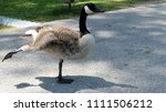 a canada goose stretching its... | Shutterstock . vector #1111506212