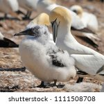 colony of northern gannets... | Shutterstock . vector #1111508708