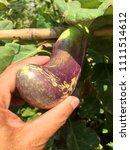 brinjal eggplant in human left... | Shutterstock . vector #1111514612
