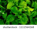 lush greenery foliage closeup.... | Shutterstock . vector #1111564268