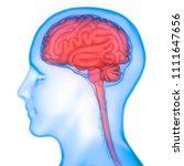 human brain anatomy. 3d | Shutterstock . vector #1111647656