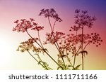 wildflowers cow parsley  ... | Shutterstock . vector #1111711166