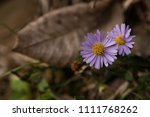 close up of purple yellow... | Shutterstock . vector #1111768262