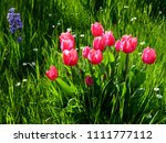 great flowerbed with red tulips ... | Shutterstock . vector #1111777112