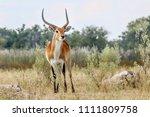 Beautiful Red Lechwe Antelope...