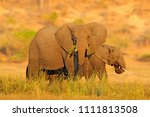 evening sun in africa. elephant ... | Shutterstock . vector #1111813508