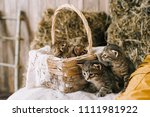 Stock photo little cute striped kittens striped kittens in a basket in the manger 1111981922