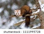 Pine Marten On A Branch In...