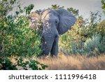 beautiful elephant in african... | Shutterstock . vector #1111996418