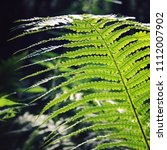 fern leaf in the forests of... | Shutterstock . vector #1112007902