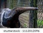 an anteater in the enclosure | Shutterstock . vector #1112012096