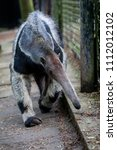 an anteater in the enclosure | Shutterstock . vector #1112012102