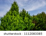 beautiful pine trees on... | Shutterstock . vector #1112083385