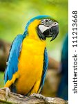 Young Blue And Yellow Macaw In...