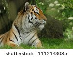 tiger laying with head raised | Shutterstock . vector #1112143085