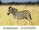 baby plains zebra or common... | Shutterstock . vector #1112231855