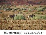 rare  endangered hartmann's... | Shutterstock . vector #1112271035
