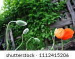 Blooming Red Coral Poppy And...