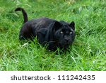 Stock photo black leopard ready to pounce in long grass panthera pardus 111242435