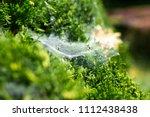 Spider Web On A Green Bush