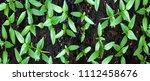 young green seedlings plants... | Shutterstock . vector #1112458676