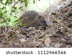 a hedgehog in a suitable garden ... | Shutterstock . vector #1112466566