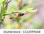 Sand Wasp  Ammophila Heydenii ...