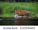 the siberian tiger  panthera... | Shutterstock . vector #1112534642