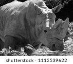 the white rhinoceros or square...   Shutterstock . vector #1112539622
