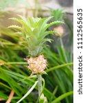beautiful decorative dwarf...   Shutterstock . vector #1112565635