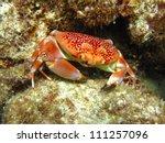 Batwing Coral Crab  Carpilius...