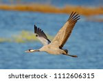 flying common crane  grus grus  ...   Shutterstock . vector #1112606315