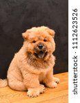 chow chow puppy in the house.... | Shutterstock . vector #1112623526