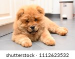 chow chow puppy in the house.... | Shutterstock . vector #1112623532