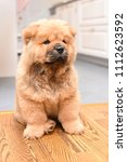 chow chow puppy in the house.... | Shutterstock . vector #1112623592