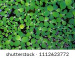 pistia  water cabbage  and... | Shutterstock . vector #1112623772