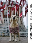 Small photo of Golden Retriever standing dreamy with eyes closed on the street in the oldtown of Riga with Latvian theme scarf and many flags of Latvia in the background. 100th Birthday of Latvia.
