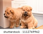 two chow chow puppy in the... | Shutterstock . vector #1112769962