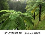 Tree Ferns On The Hill
