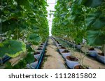 melon in the greenhouse | Shutterstock . vector #1112815802